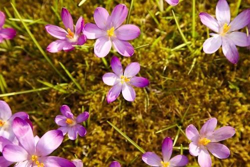 Krokusblüte Villa Belveder