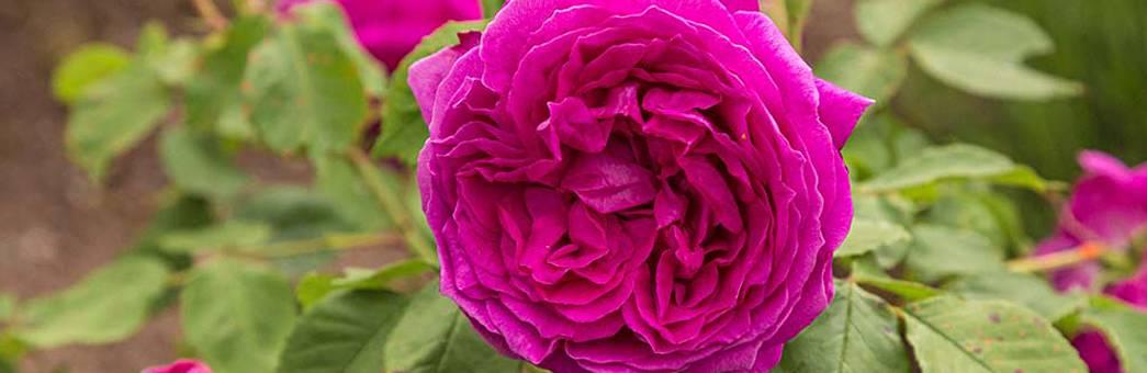 Info Kleine Villa Rose De