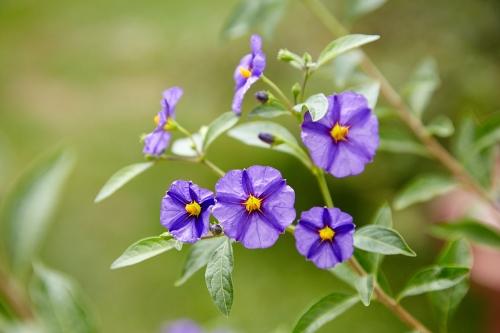 Solanum