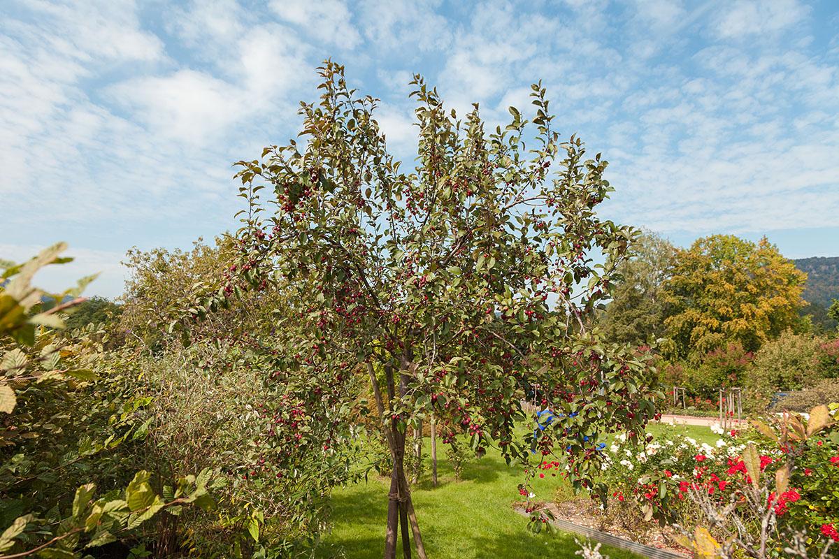 Der Zierapfelbaum mit seinen charakteristisch roten Früchten