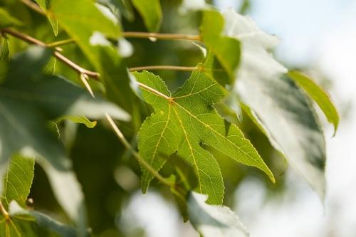 Hellgelb durchziehen die Adern das Blatt des Amberbaumes im Gegenlicht