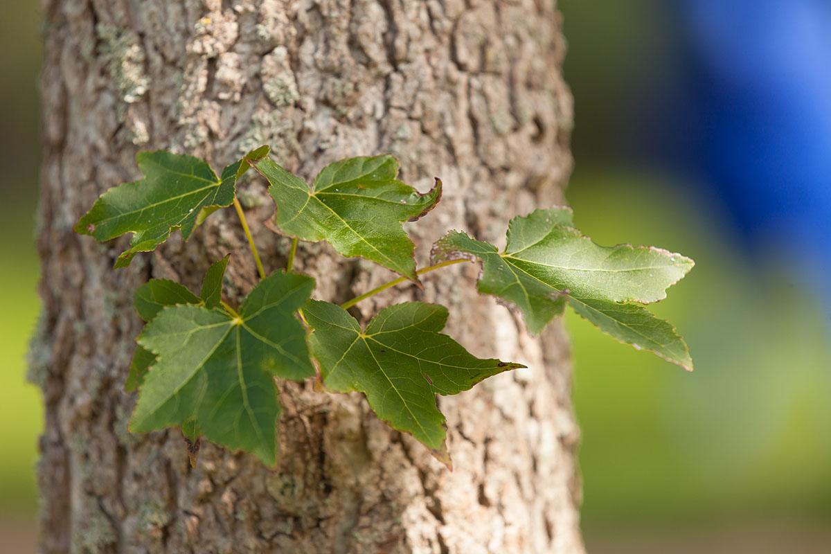 Seitentrieb auf der rauhen Rinde des Amberbaumes
