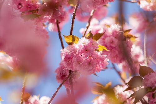 Japanische Blütenkirsche (Prunus serrulata)