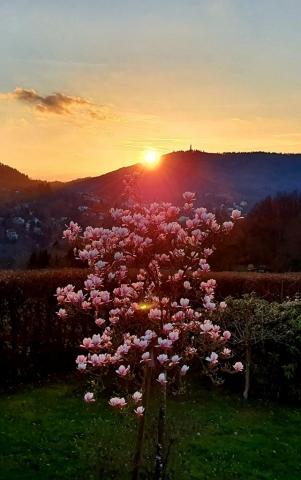 Magnolie im Sonnenuntergang
