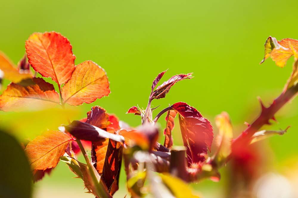 Die jungen Blätter der Rose Westerland