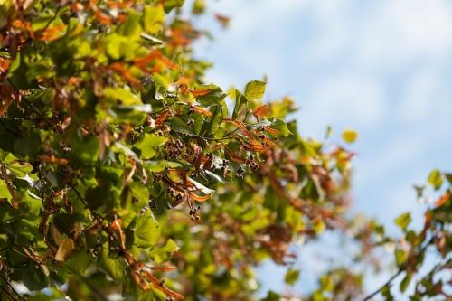 Welke Lindenblüten erzählen vom Spätsommer