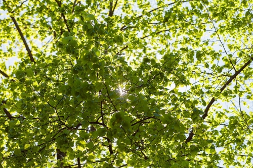 Die Sonne glitzert durch die schon dichten Blätter der Linde im April